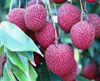 Lychee-Fruits